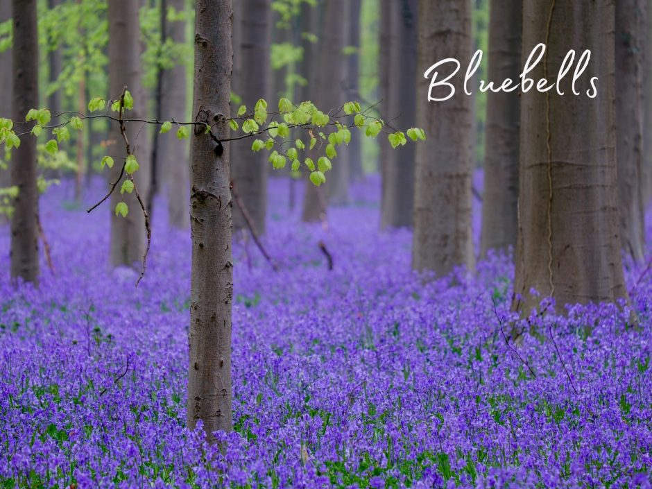 Header image for a post about having sex in a wood full of bluebells