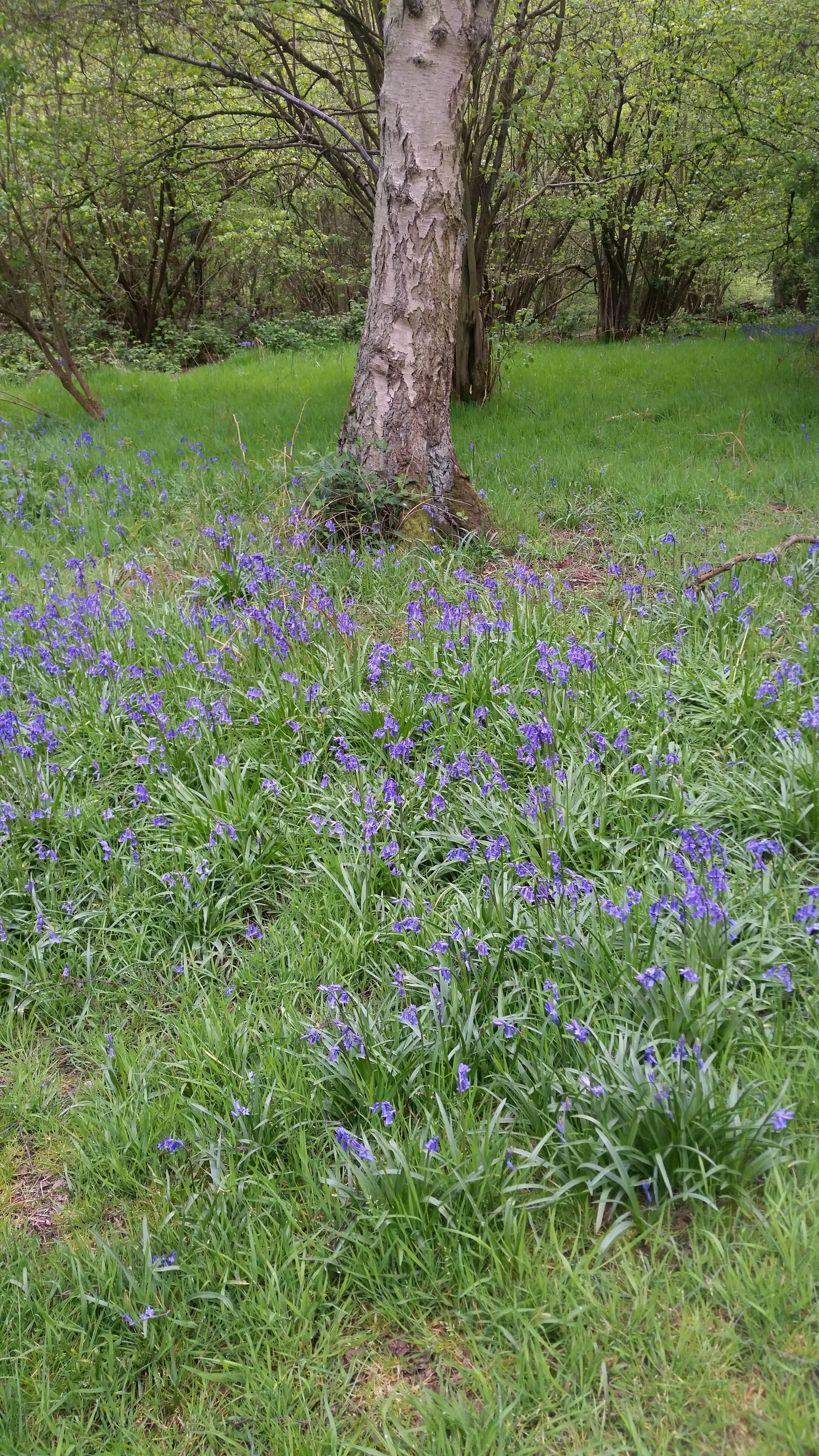 A clearning in a wood with a tree and carpeted with bluebells