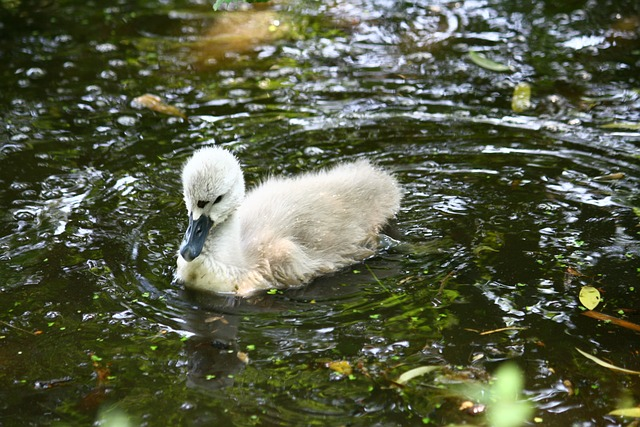A baby swan swimming along in some water. For a post about being an ugly duckling