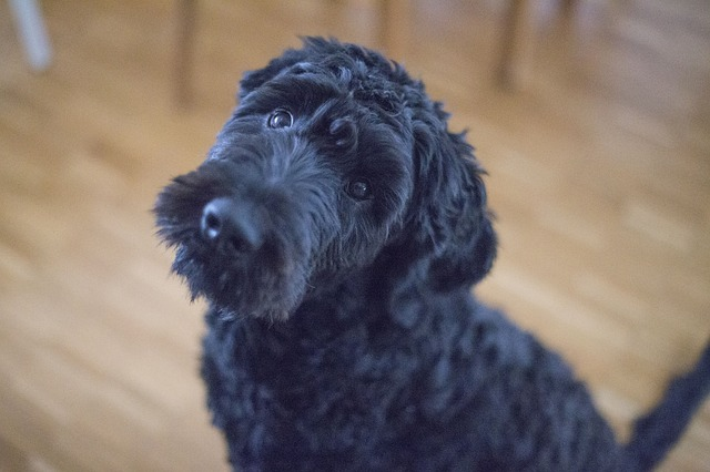 A cute black dog looking up at the camera. For post titled It's Okay to Play When You're Depressed - the dog refers to the Black Dog metaphor for depression.