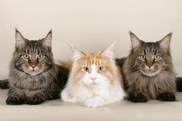 Three Maine Coon cats sitting down in a row and looking at the camera. The middle one is white with a ginger face and the other two are tabbies. For a post about being a good couple to threesome with.