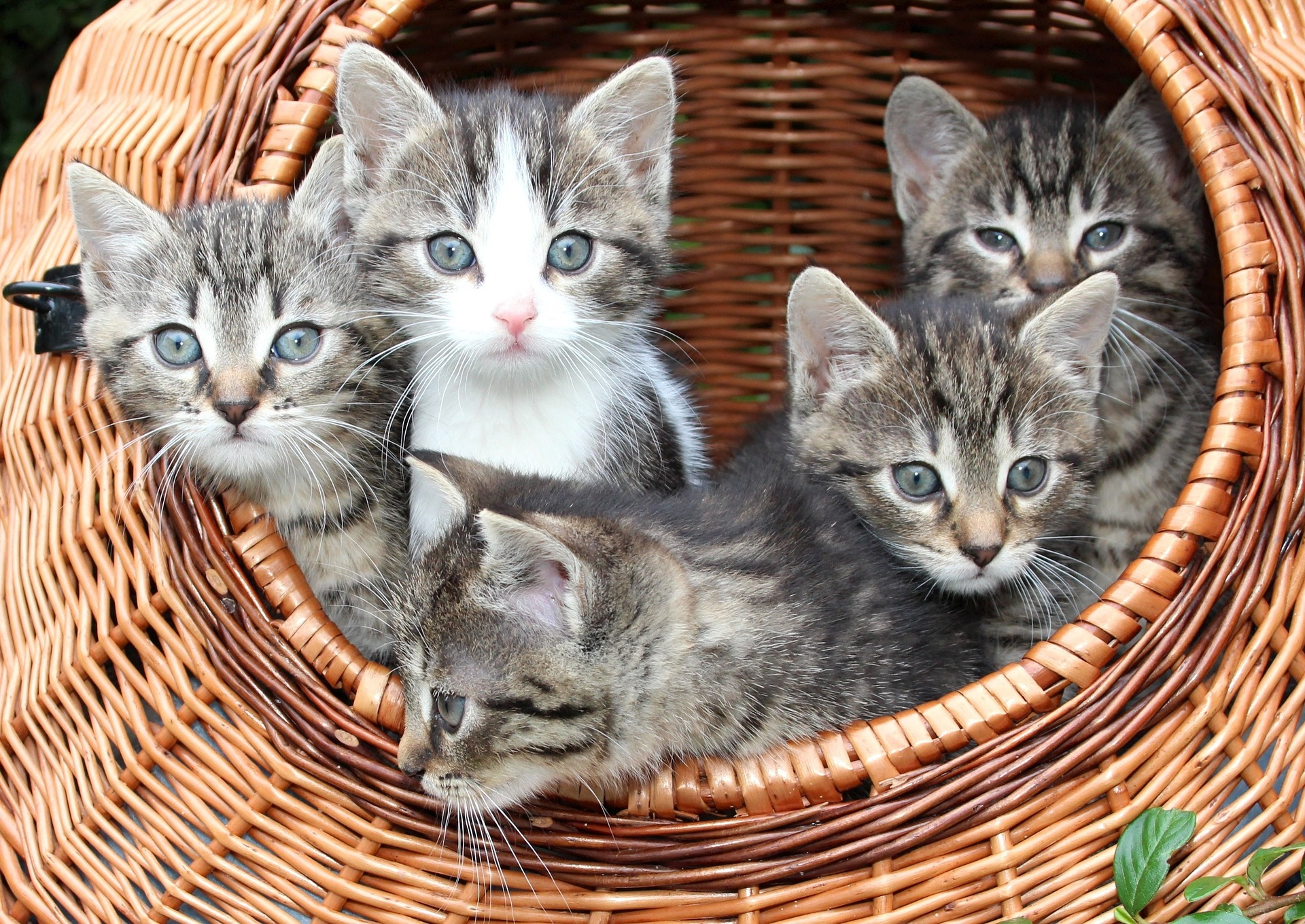 A group of grey kittens in a basket. For a post about sex positive friends
