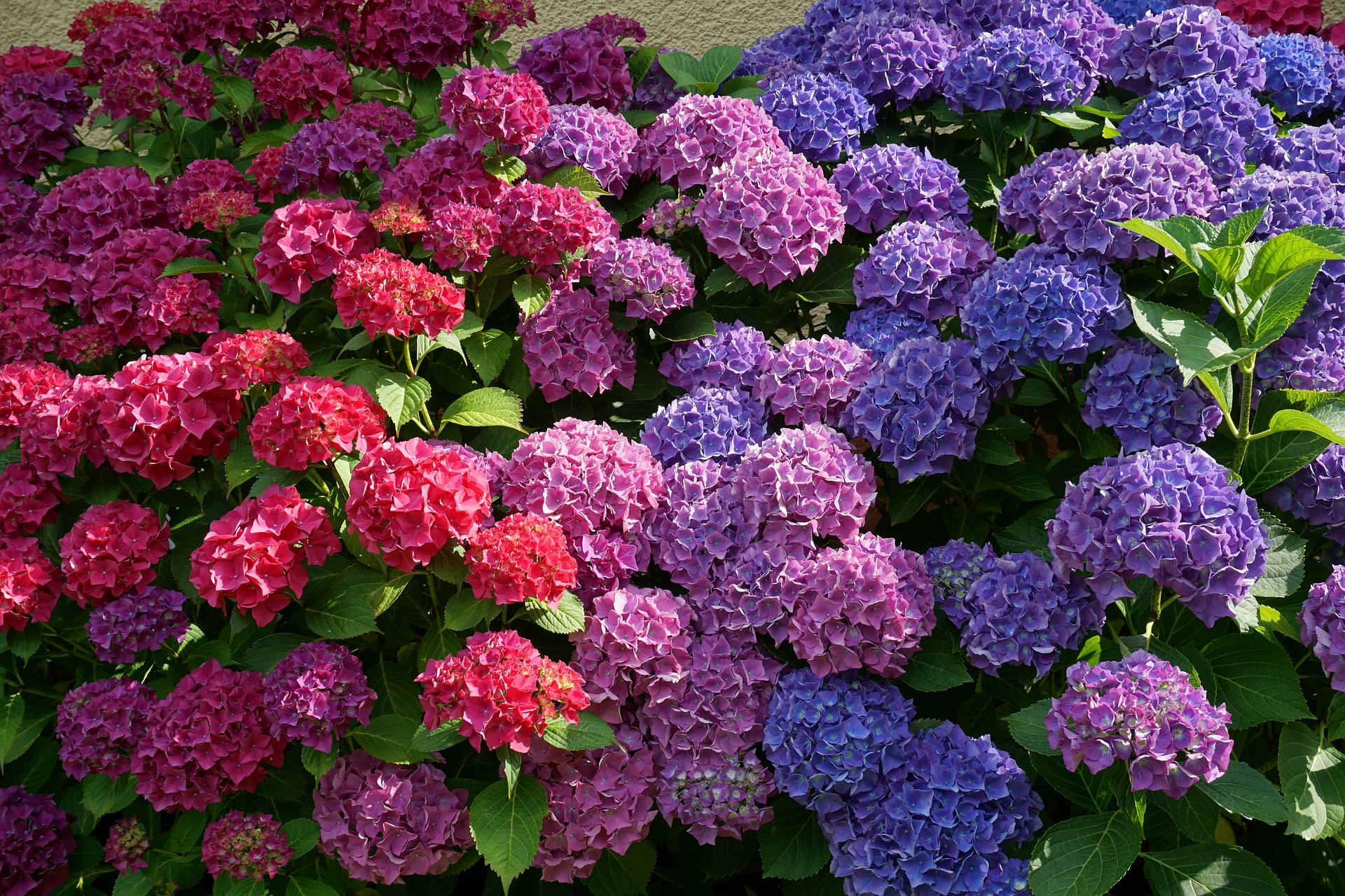 Hydrangeas in the colours of the bi pride flag