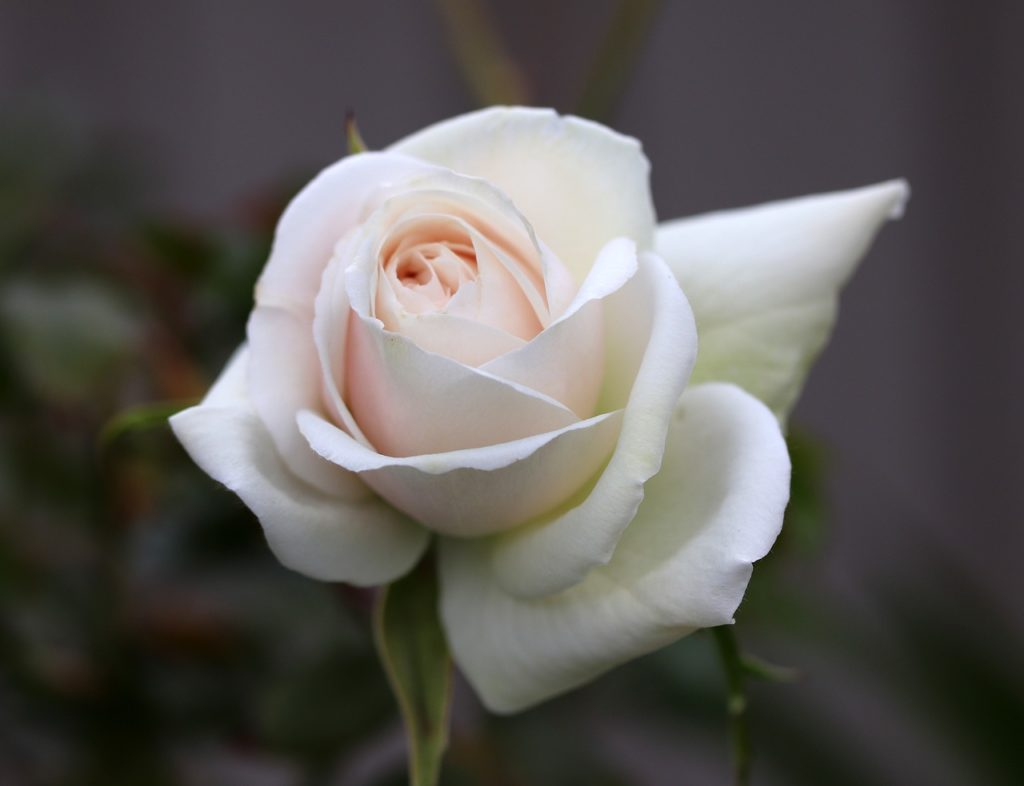 A white rose. For a post on unlearning sex negativity.